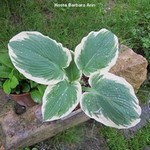 Les hostas : Barbara Ann