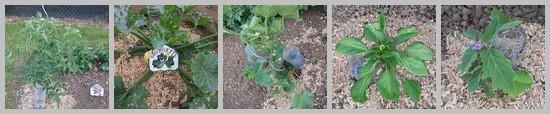 Tomates, courgettes, concombres, poivrons et aubergines au potager