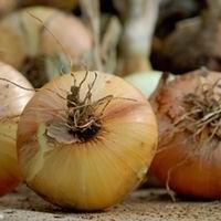 Chronique d'un potager ordinaire : suite des semis et plantations  2015 : oignons jaunes