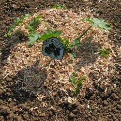 Plant de courgettes