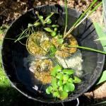 Jardin aquatique dans une bassine