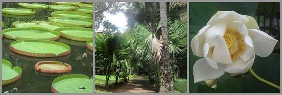 Ile Maurice : le Nord - Jardin de Pamplemousses
