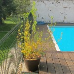 Bouturage du forsythia