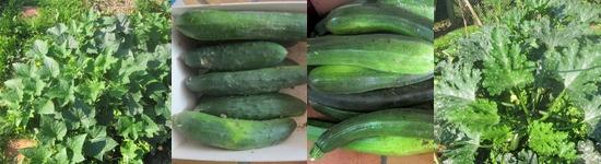 Chronique potager - Concombres et Courgettes