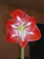 Astuce amaryllis en vase